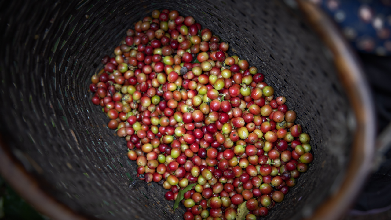 Coffea Arabica and Coffea Robusta — These are 2 coffea plants that comprise nearly all the coffee grown for intake!